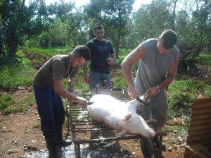 getting the pig ready escogiendo un puerco