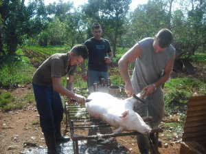 getting the pig ready escogiendo un puerco